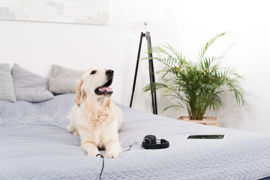 Labrador laying on a bed with a set of headphones