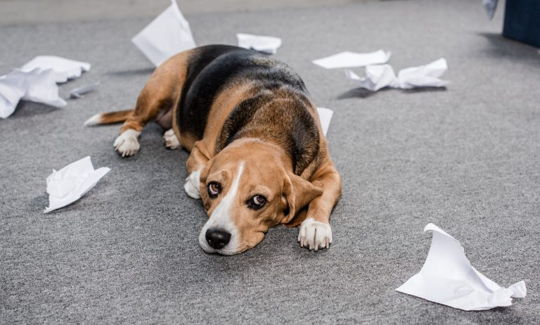 Funny dog looking extremely guilty after making a mess on the floor