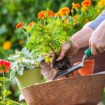 Planting flowers in a brown terracotta pot
