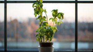 Basil plant in a pot near the window
