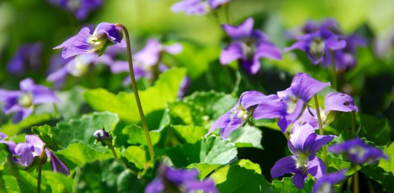 Close-up of a beautiful field of wild violets on a sunny day